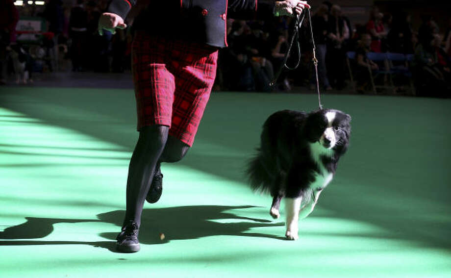 Competition begins at Crufts dog show. Photo: SIMON DAWSON, AP