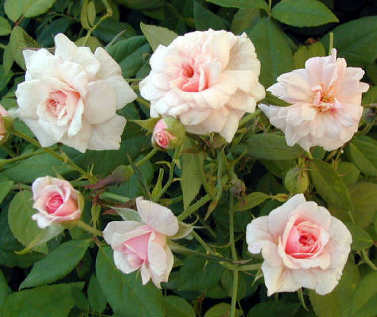 'Cecile Brunner' is one of the newly designated Earth Kind roses. More on the two new Earth Kind roses | What does Earth Kind mean? | Submit your garden photos | Houston Plant Database | HoustonGrows.com