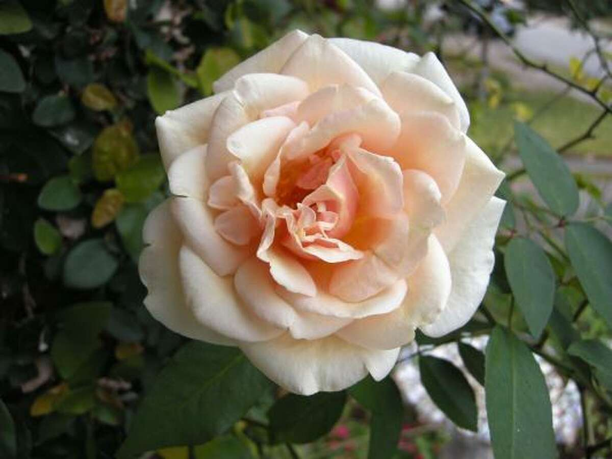 'Reve d'Or', a climber,is one of the newly designated Earth Kind roses. It lives up to its name, which means