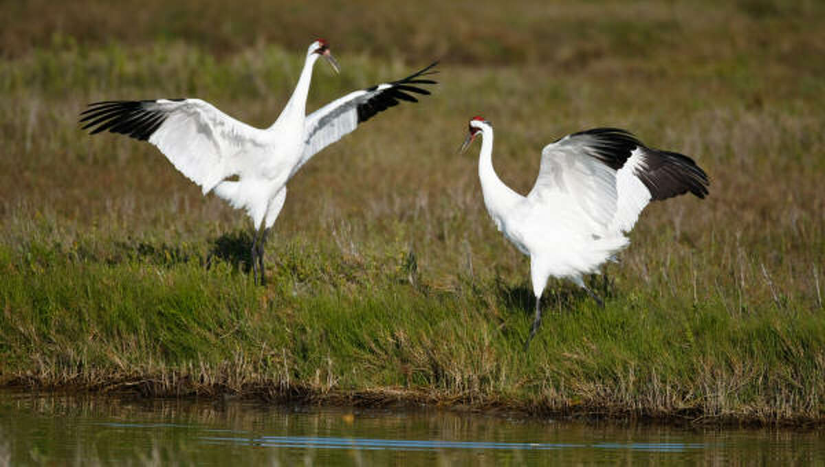 A male Whooping Crane does a mating dance as he and a female forage for food at the Aransas National Wildlife Refuge. The Cranes suffered through the drought of 2008-2009 because it increased the salinity of the water in the pass. The increase of salt killed the crabs and other marine animals they eat, starving them.
