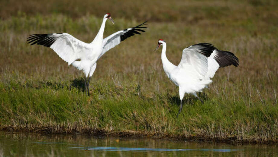 A male Whooping Crane does a mating dance as he and a female forage for food at the Aransas National Wildlife Refuge. The Cranes suffered through the drought of 2008-2009 because it increased the salinity of the water in the pass. The increase of salt killed the crabs and other marine animals they eat, starving them. Photo: Nick De La Torre, Chronicle