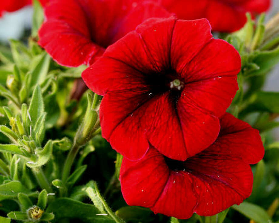 Petunias Submit your garden photos | Houston Plant Database | HoustonGrows.com Photo: Butterhummer, Chron.commons