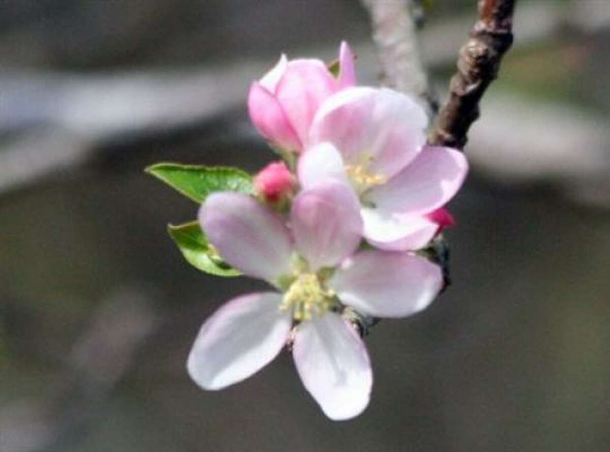 Apple blossoms Submit your garden photos | Houston Plant Database | HoustonGrows.com