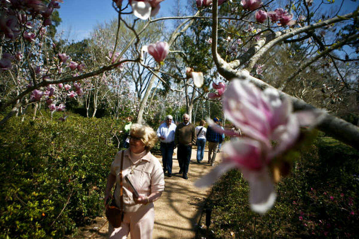Oriental Magnolias make an archway above spectators at the Bayou Bend Gardens during the Azalea Trail Home and Garden Tour.