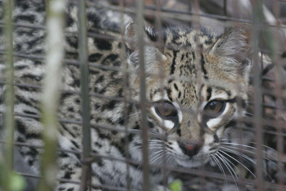 This young ocelot, estimated to be about 10 months old, was among those trapped and released earlier this month during a research project in northeastern Mexico. Photo: Shannon Tompkins, Chronicle