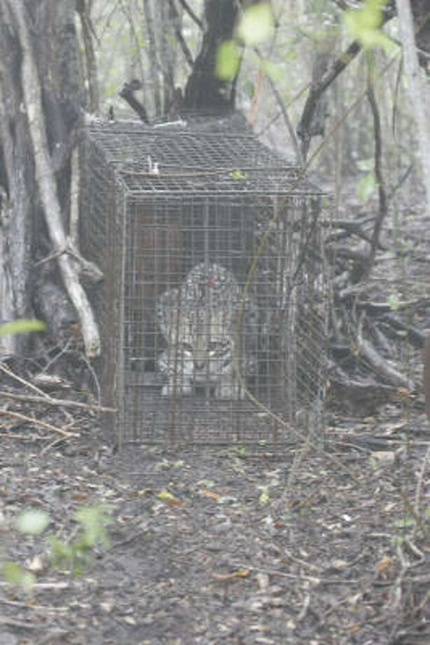 An adult male ocelot sulks in a live-trap on Rancho Caracol in Tamaulipas, Mexico. A research project in the thornscrub country of northeast Mexico is aimed at learning more about these secretive wild cats and perhaps leading to relocating a small number of Mexican cats to Texas, where only about 50 ocelots survive in the far south corner of the state. Photo: Shannon Tompkins, Chronicle