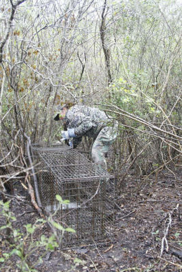 Researcher Sasha Carvajal-Villareal sets a wire live-trap used to capture ocelots and other small and medium wild cats. Photo: Shannon Tompkins, Chronicle