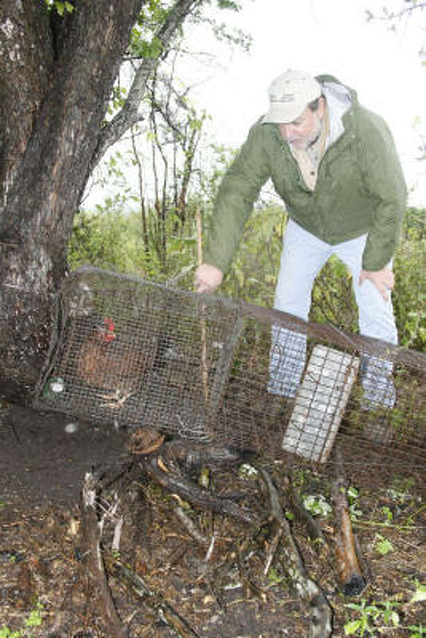 Dr. Michael Tewes of the Caesar Kleberg Wildlife Research Institute checks a trap used to capture ocelots for an ongoing research project centering on the wild felines. Live chickens are placed in a protected area in the rear of the cage to tempt ocelots into entering the live-catch device. Photo: Shannon Tompkins, Chronicle
