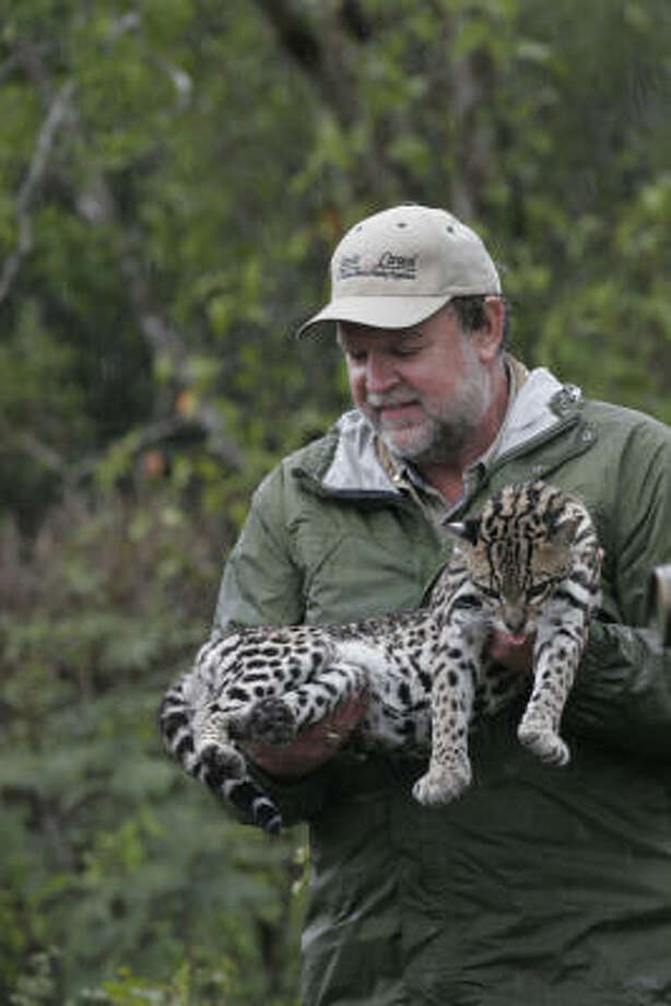 Dr. Michael Tewes, who has been involved in ocelot research for three decades, carries a sedated ocelot captured in thick thornscrub on Rancho Caracol in northeast Mexico. Tewes, a professor at Texas A&M-Kingsville's Caesar Kleberg Wildlife Research Institute and one of the world's premier experts in wild felines, is helping coordinate a multifaceted wild cat research project in the region. Photo: Shannon Tompkins, Chronicle