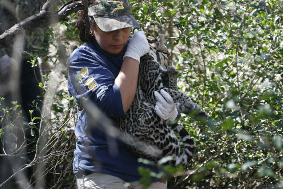 Researcher Sasha Carvajal-Villarreal carries a sedated ocelot. Photo: Shannon Tompkins, Chronicle