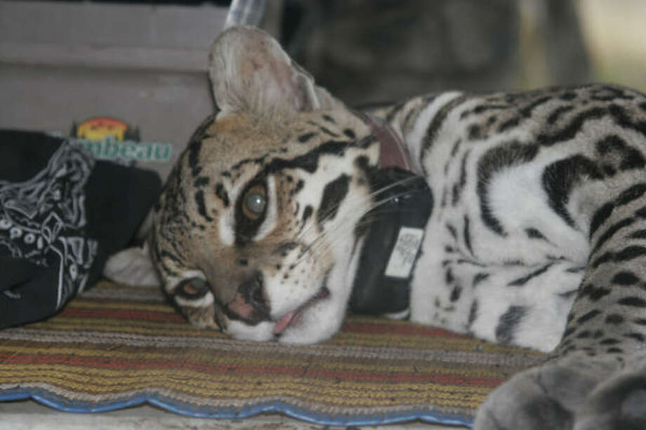A male ocelot, wearing a new radio collar that will allow researchers to track his movements for as long as 18 months, waits for the sedation used in his capture to wear off before he is released back into the wild thornscrub country of northeast Mexico. Photo: Shannon Tompkinsq, Chronicle