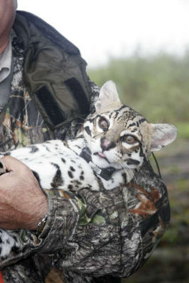 An adult male ocelot, wearing his newly attached radio-tracking collar, waits wearing off of sedation before being released back into the thornscrub country on Rancho Caracol in northeast Mexico. The ocelot is one of 11 of the rare wild cats captured, collared and released as part of a study aimed at learning more about the species. Photo: Shannon Tompkins, Chronicle