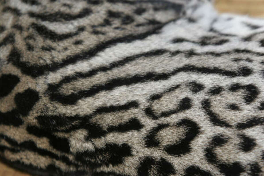 Patterns on ocelot coats give the wild cats perfect camouflage in their thickly forested habitat. Unique patterns on each cat's coat allow researchers to identify individual animals when captured on remote-sensing trail cameras. Photo: Shannon Tompkins, Chronicle