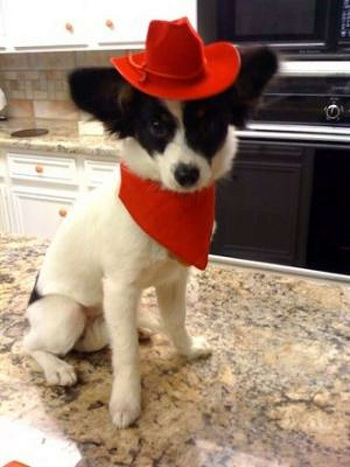 Five-month-old papillon Bill Miller is ready for the rodeo. Share your dog pics.