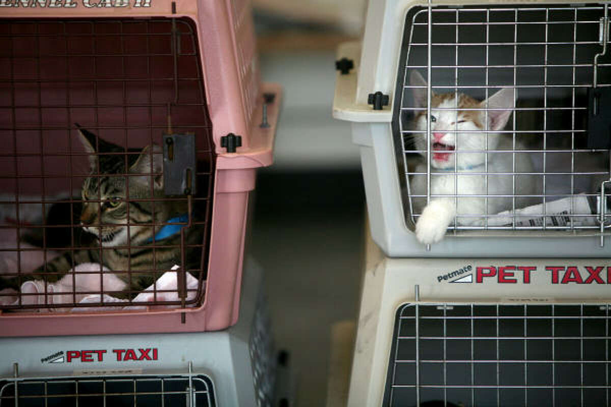 Male cats wait to be registered and neutered for free at the Houston Humane Society along 500 other male cats during their