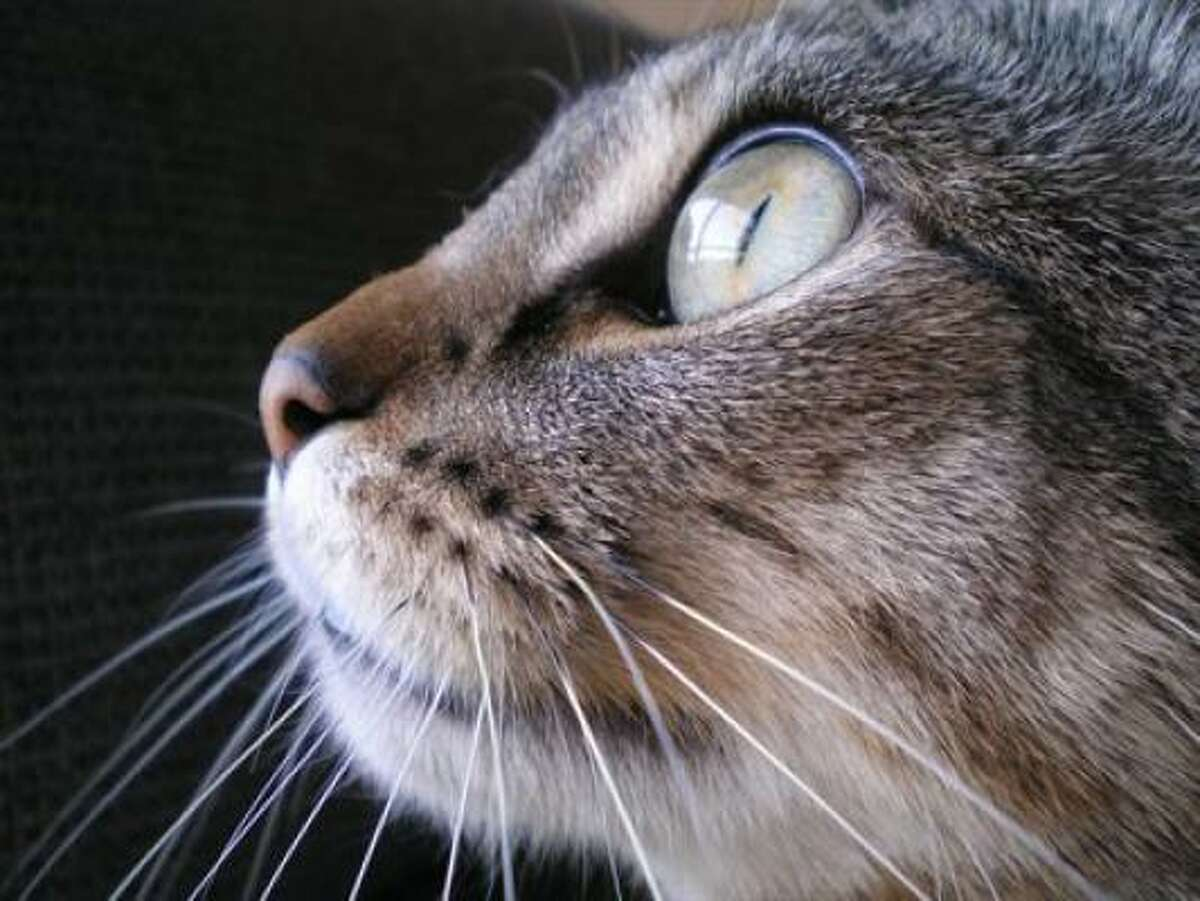 There are a lot of good photos in the cats gallery at PetsHouston.com such as this one of Misa.