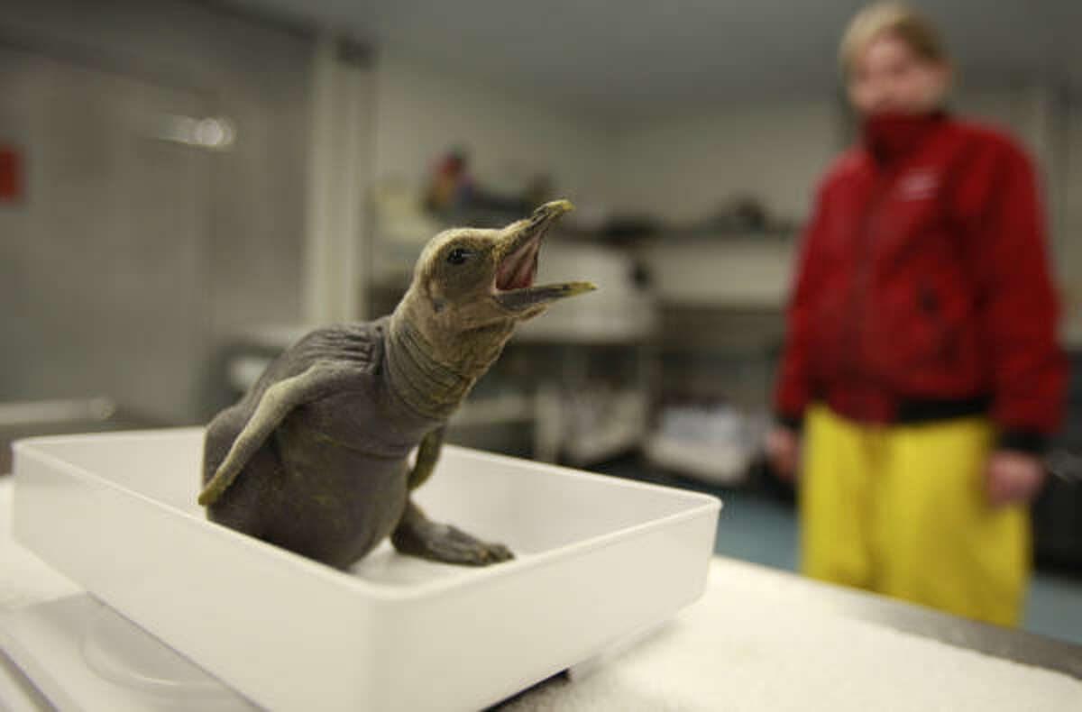 A newborn King Penguin chick is weighed in at Moody Gardens Aquarium Pyramid in Galveston, TX. It is the first chick to be born this year of all five species of tuxedo-clad birds, and the second chick for female Littlefoot and male Lando.