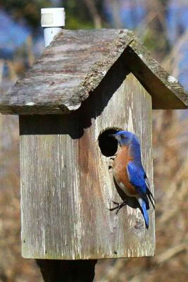 Male eastern bluebird Submit your garden photos   Houston Plant Database   HoustonGrows.com Photo: JuneMoon, Chron.commons