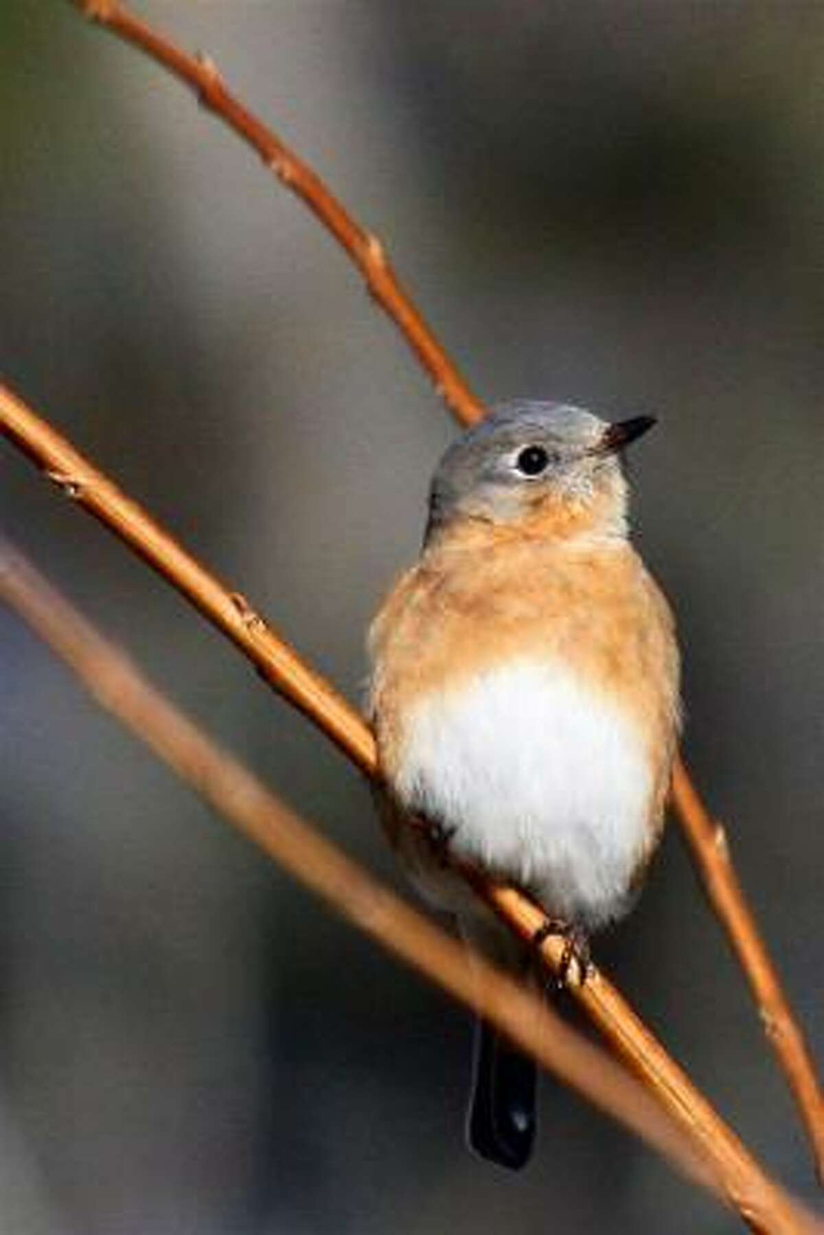 Female eastern bluebird Submit your garden photos | Houston Plant Database | HoustonGrows.com