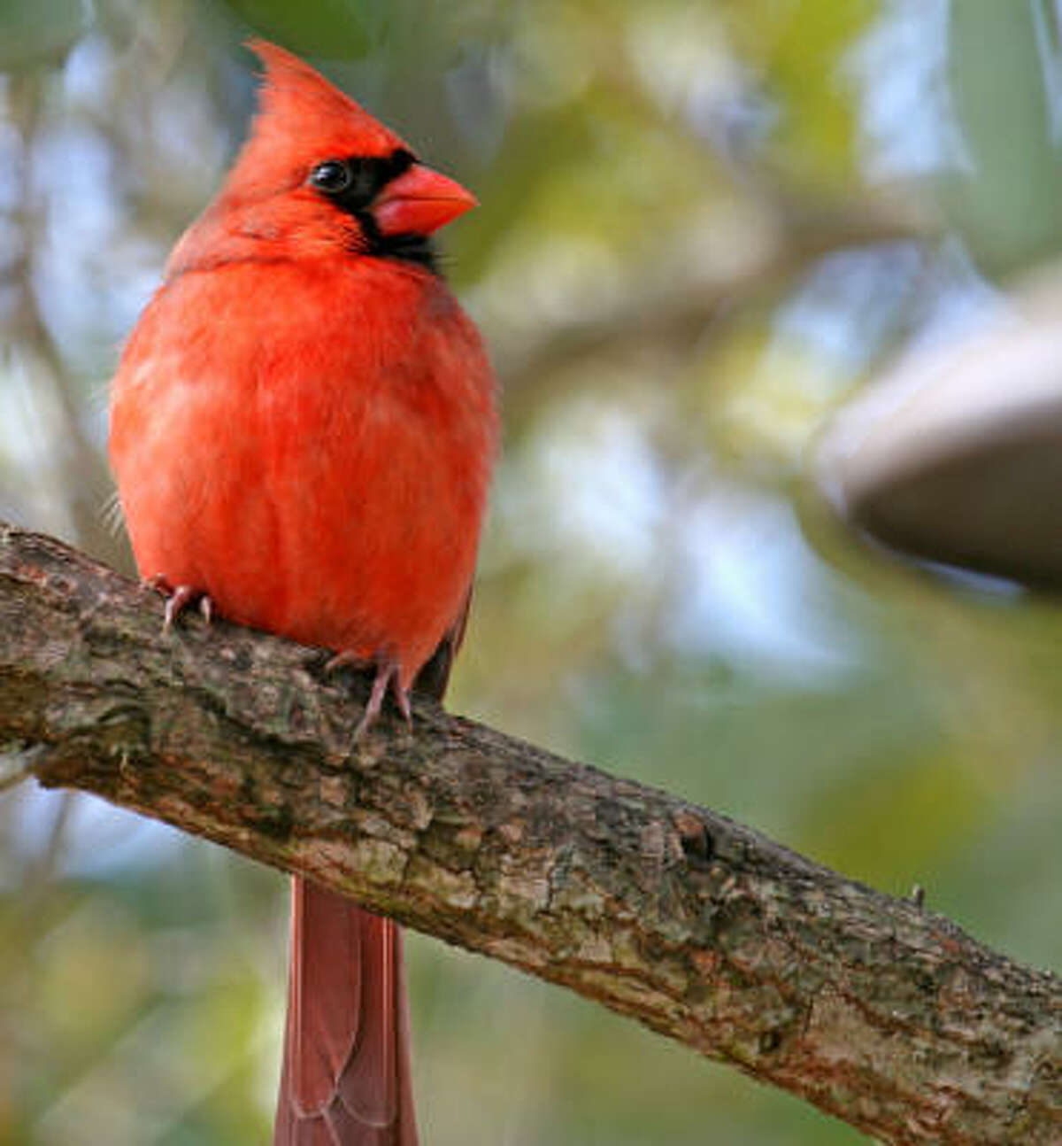 Male cardinal Submit your garden photos | Houston Plant Database | HoustonGrows.com
