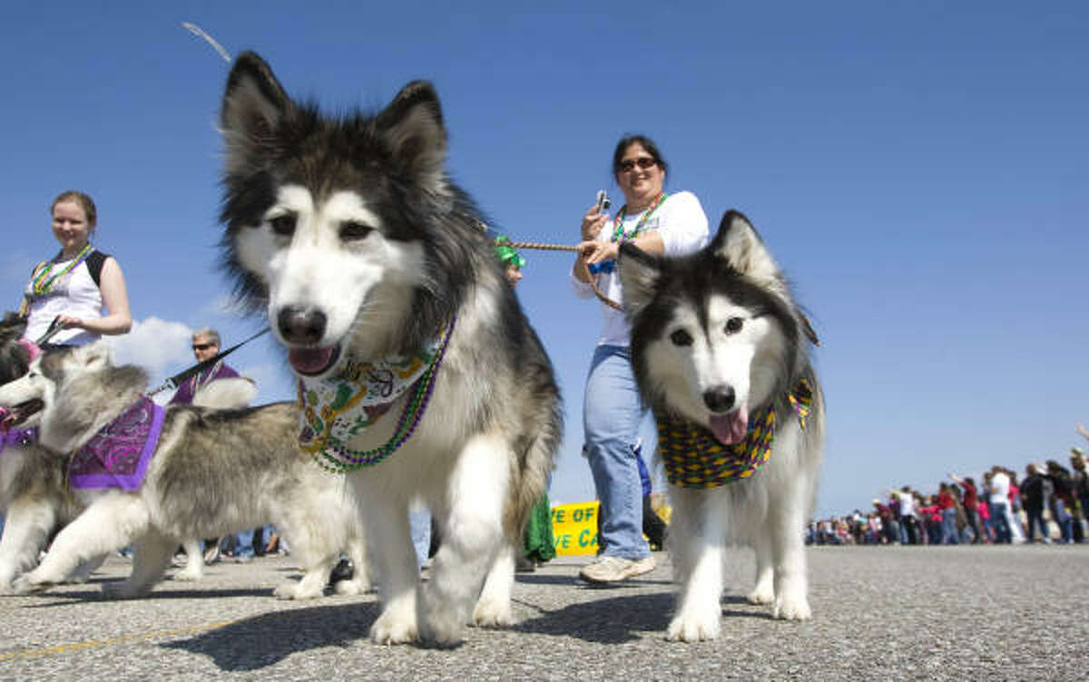 A pair of huskies walk along the Krewe of Barkus Mardi Gras parade route along Seawall Boulevard in Galveston.