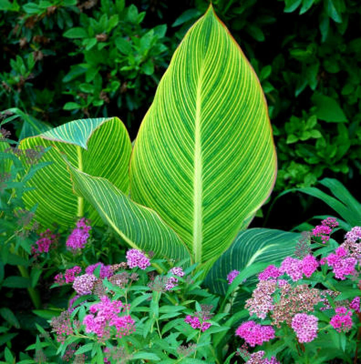 The 'Bengal Tiger' canna can make an interesting combination for a tropical look with Japanese spiraea. Submit your garden photos | Houston Plant Database | HoustonGrows.com