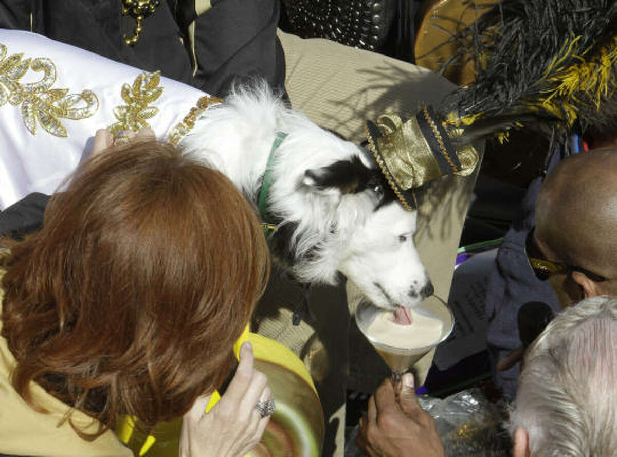 His Majesty the King of the Mystic Krewe of Barkus is greeted with a milk treat at one of the stops along the parade route as it marches through the streets of the French Quarter.