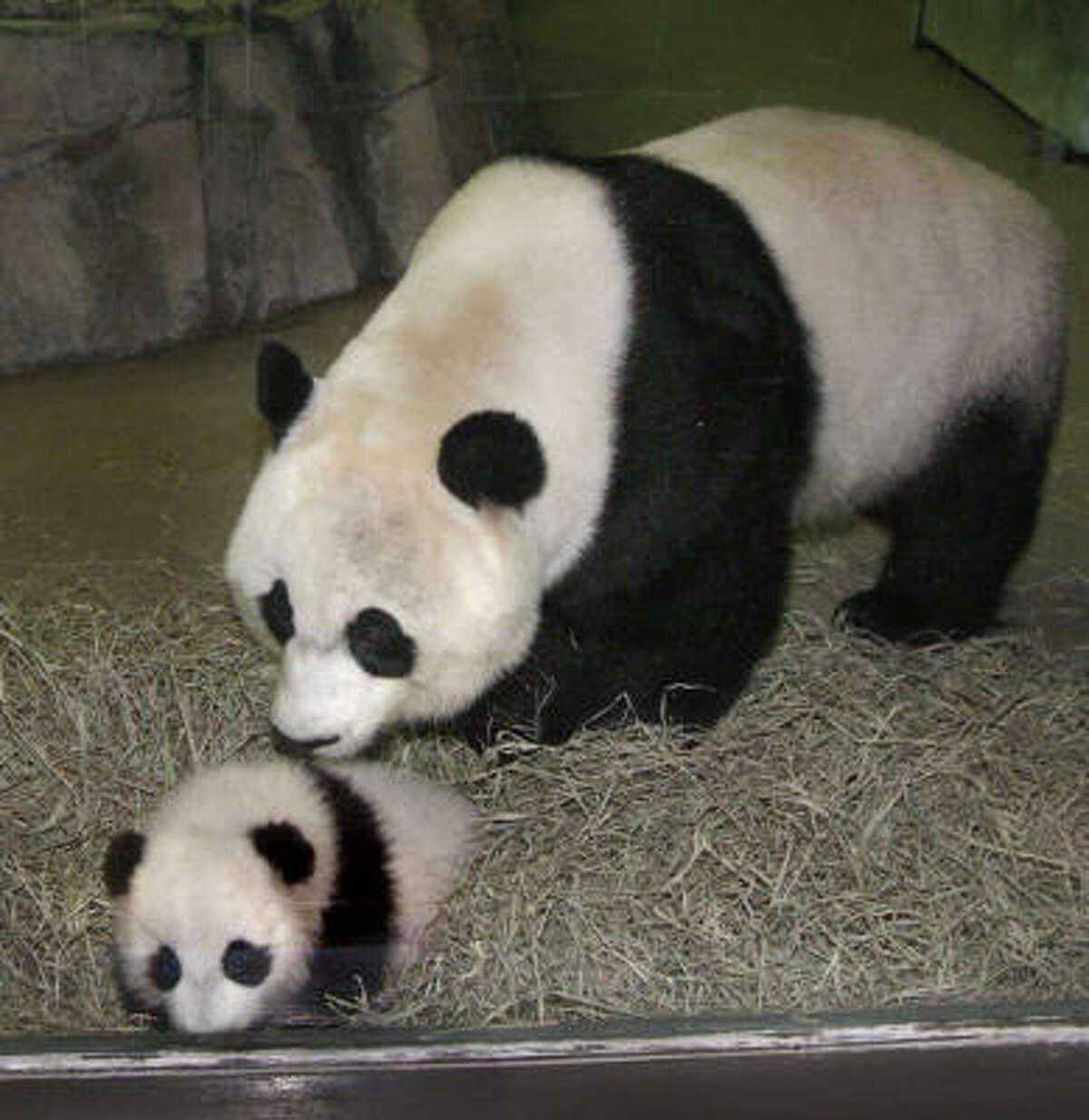 Mother Mei Xiang showed her cub, Tai Shan, to the public Dec. 8, 2005.
