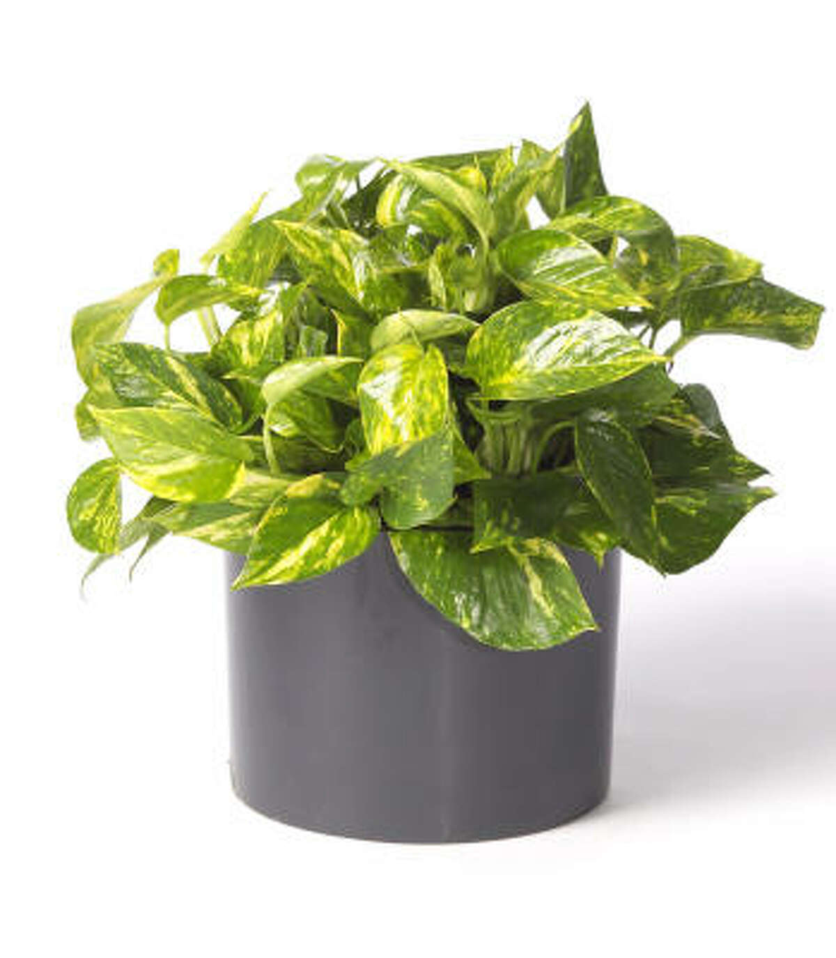 Golden pothos or devil's ivy, Scindapsus aureus, is an easy-care vining plant that will grow in any light except direct hot sun or total darkness. 8 tips to keeping houseplants happy | Top 10 houseplants explained | Plants that clean indoor air | Succulents for containers | Submit your garden photos | Houston Plant Database | HoustonGrows.com
