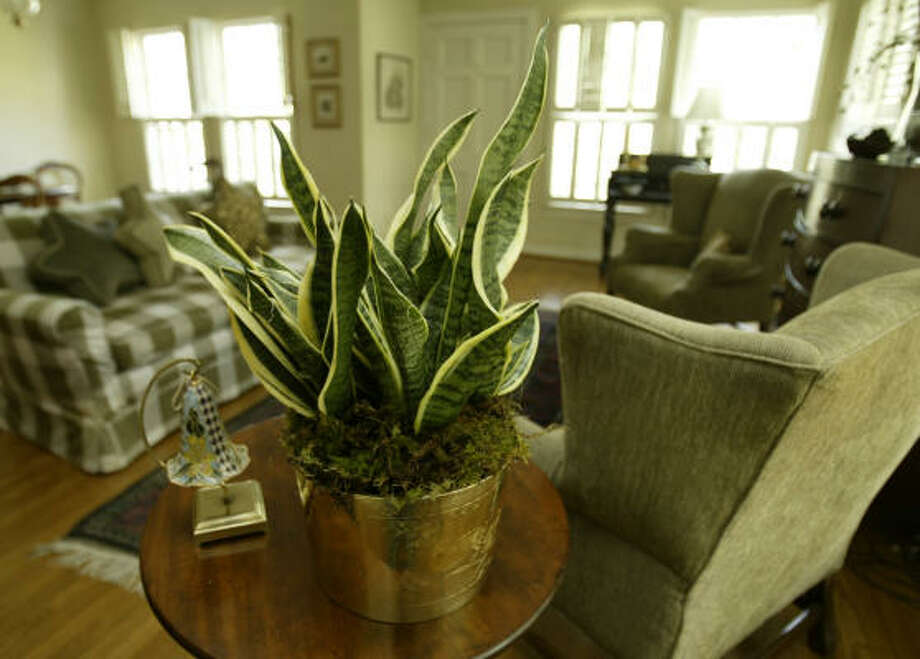 Sansevieria More: Top 10 indoor plants | 31 succulents for containers | Houston Plant Database | HoustonGrows.com Photo: Kevin Fujii, Chronicle