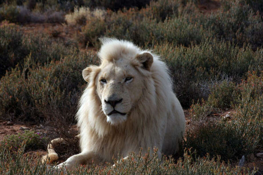 "One of the ""angel lions,"" or the white lions of Sanbona Wildlife Reserve near Cape Town is captured with its snowy fur and ice blue eyes. The lions are white because of a recessive gene, not because they are albinos. Photo: MARY ANN ANDERSON, MCT"