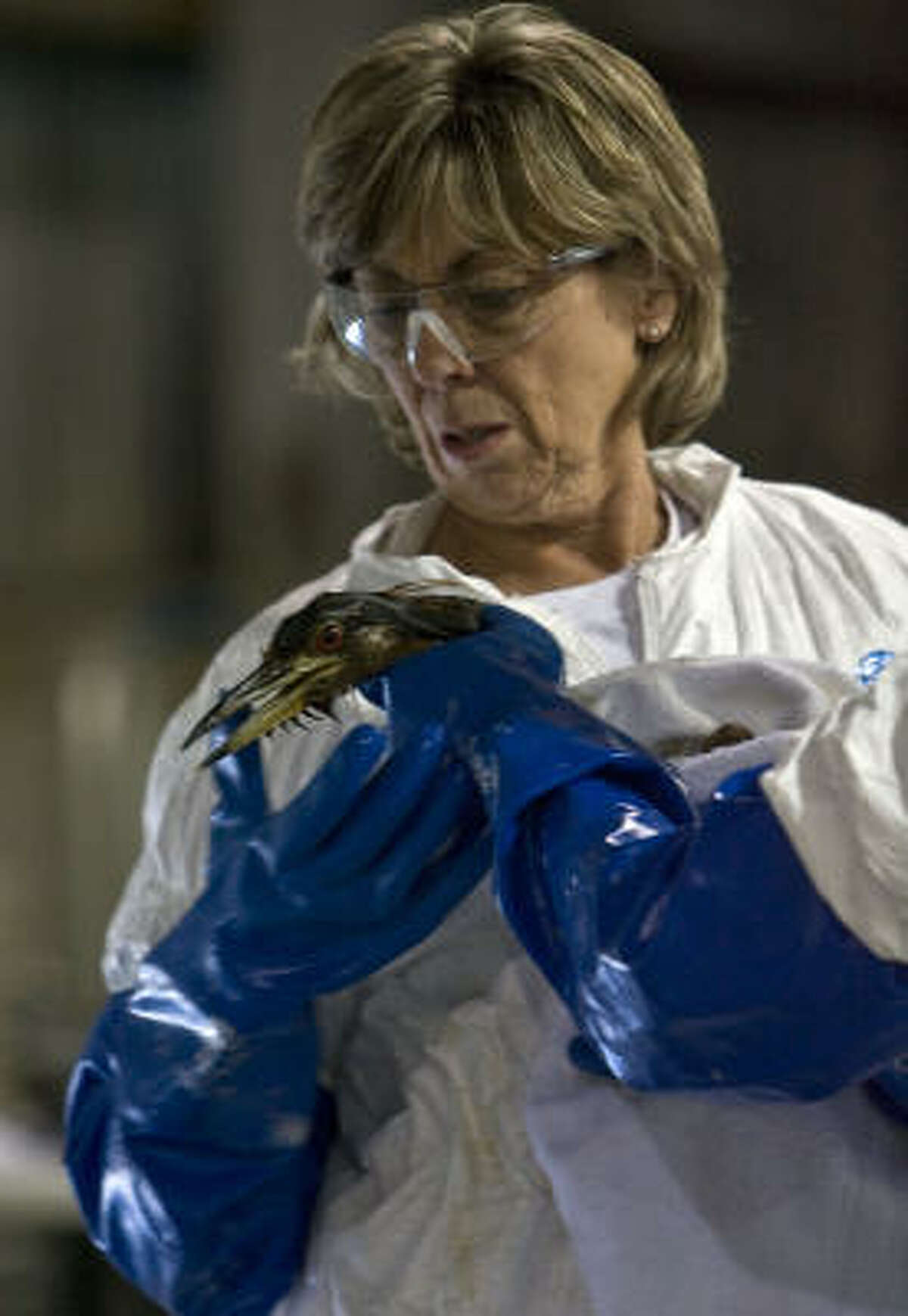 Linda Holmes with Wildlife Response Services cleans a Yellow Crowned Night Herring which was covered in oil.
