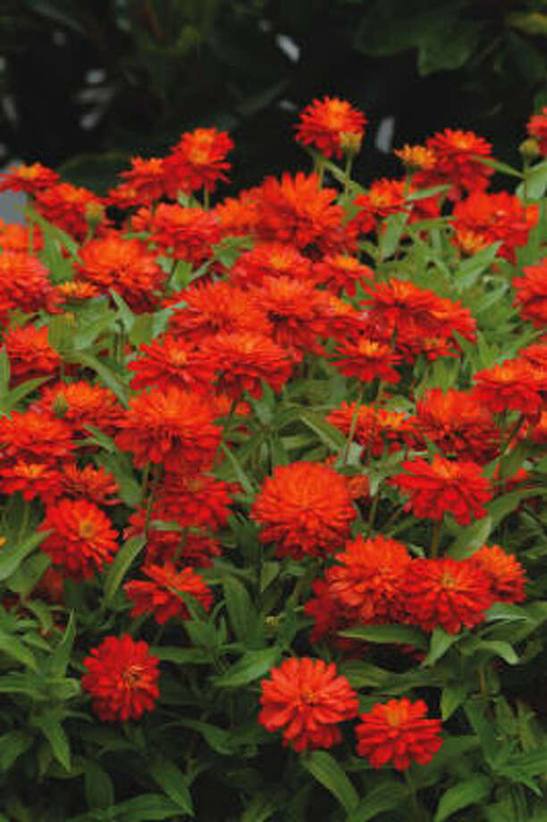 'Double Zahara Fire' zinnia has plump 2 ½-inch blooms on 12-inch plants. This heat-tolerant sun lover is disease resistant. Photo: All-America Selections