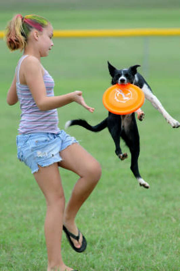 No. 1. Border Collie. Wendy and her handler show mad skills during a Houston Canine Frisbee Disc Club Exhibition. Photo: Jerry Baker, For The Chronicle