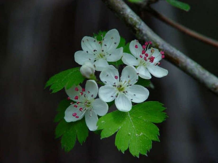 Parsley hawthorn:This tree provides year-round interest: white spring flowers, parsley-shaped bright green foliage and fall color. Give it partial sun, and it will even grow in gumbo. This is a good one.