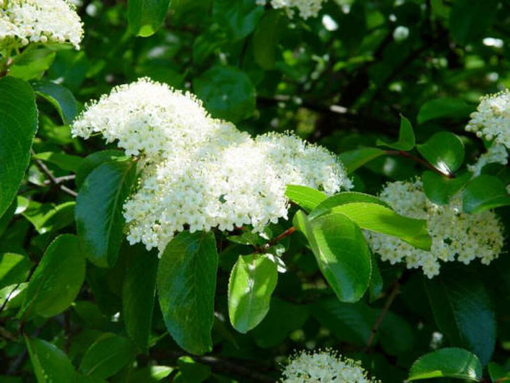 White Spring Flowers Parsley Rusty Blackhaw Viburnum This Deciduous Beauty Has Three Fold Interest 3 Inch