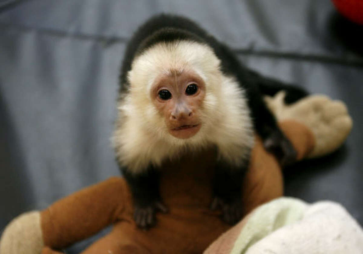 Six-month-old Jinx, a white-throated capuchin, is one of eight monkeys that rotate in and out of the display at Gallery Furniture.