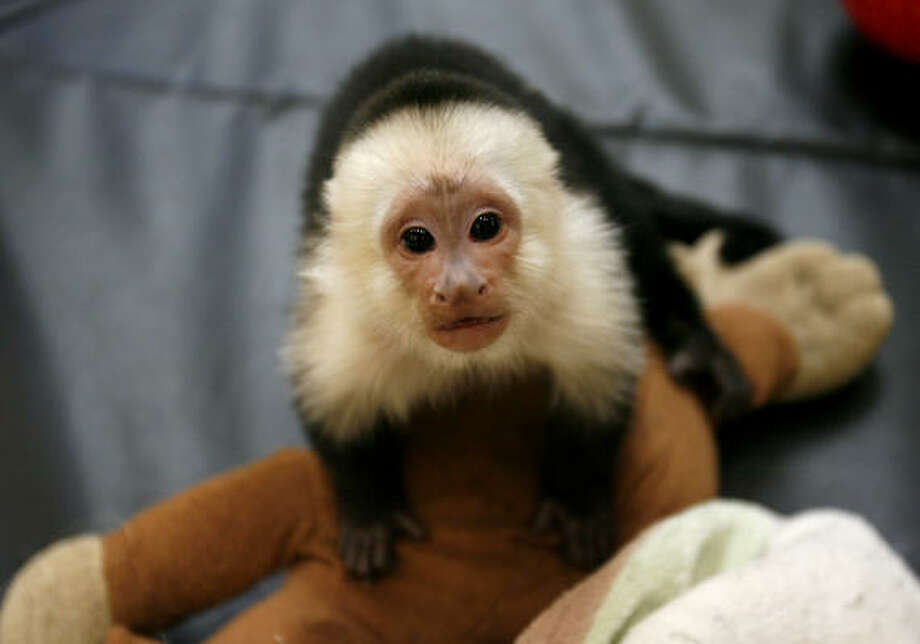 Six-month-old Jinx, a white-throated capuchin, is one of eight monkeys that rotate in and out of the display at Gallery Furniture. Photo: Karen Warren, Chronicle
