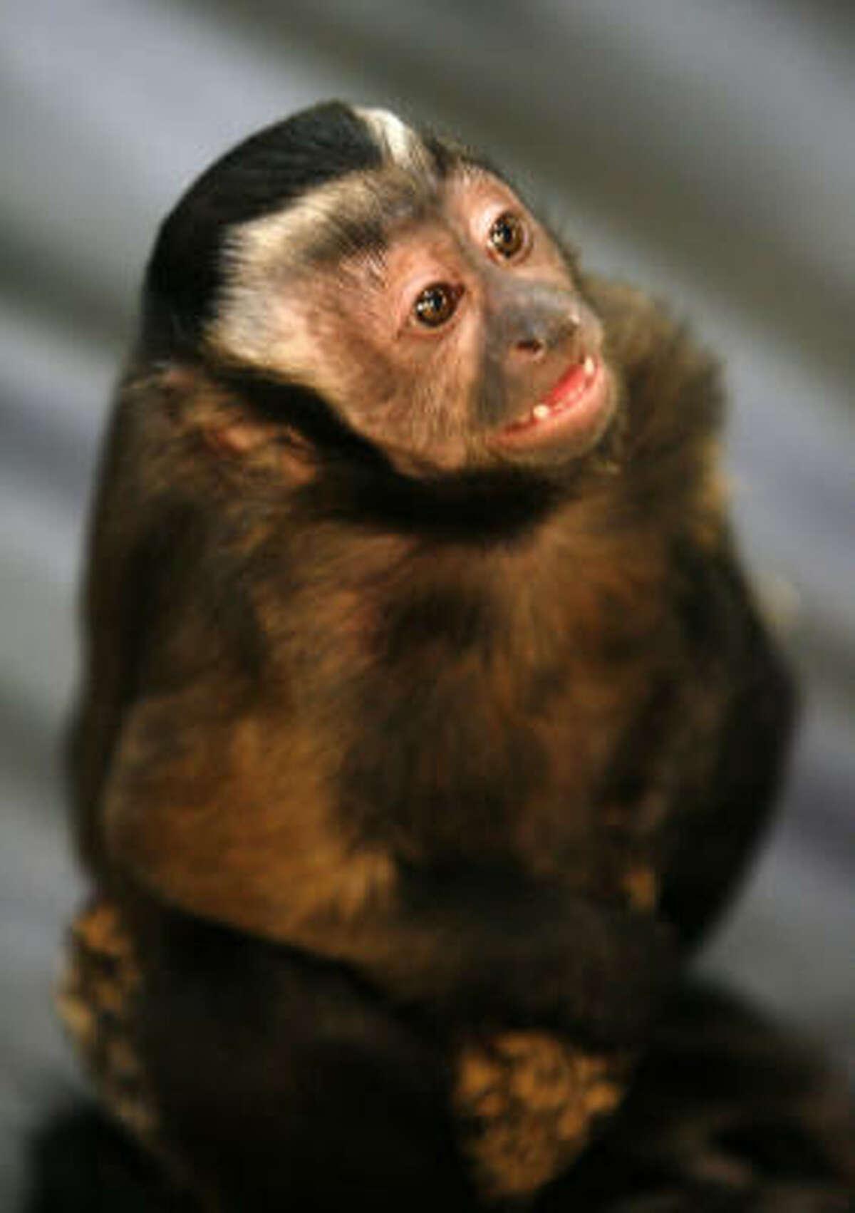 Sasha belongs to Gallery Furniture employee Robert Williams, who helped the McIngvales buy their monkeys from a Tennessee breeder.