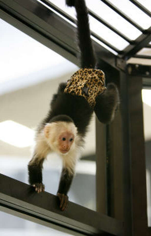 During the day the monkeys wear premie-size disposable diapers with holes cut for their tails and custom-made diaper covers to keep them from ripping off the diapers. Photo: Karen Warren, Chronicle