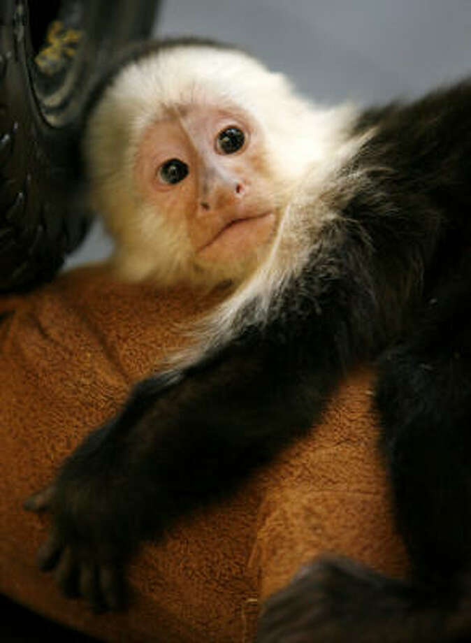 The store's monkeys are named Jinx, above, Parker, Tidwell, Kate, Logan and Houston. Photo: Karen Warren, Chronicle