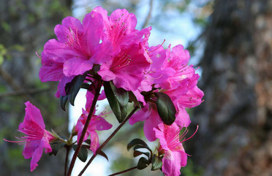 Azalea, formosa Share your freeze story in Garden Forums  |  Lazy Gardener: What survived the freeze in your yard?  |  Dozens of hard-to-kill flowers  |  Readers' Top 10 Easiest Plants to Grow  |  Houston-area Freeze Guide  |  Submit your garden photos  |  Houston Plant Database  |  HoustonGrows.com Photo: Clicksy, Flickr.com