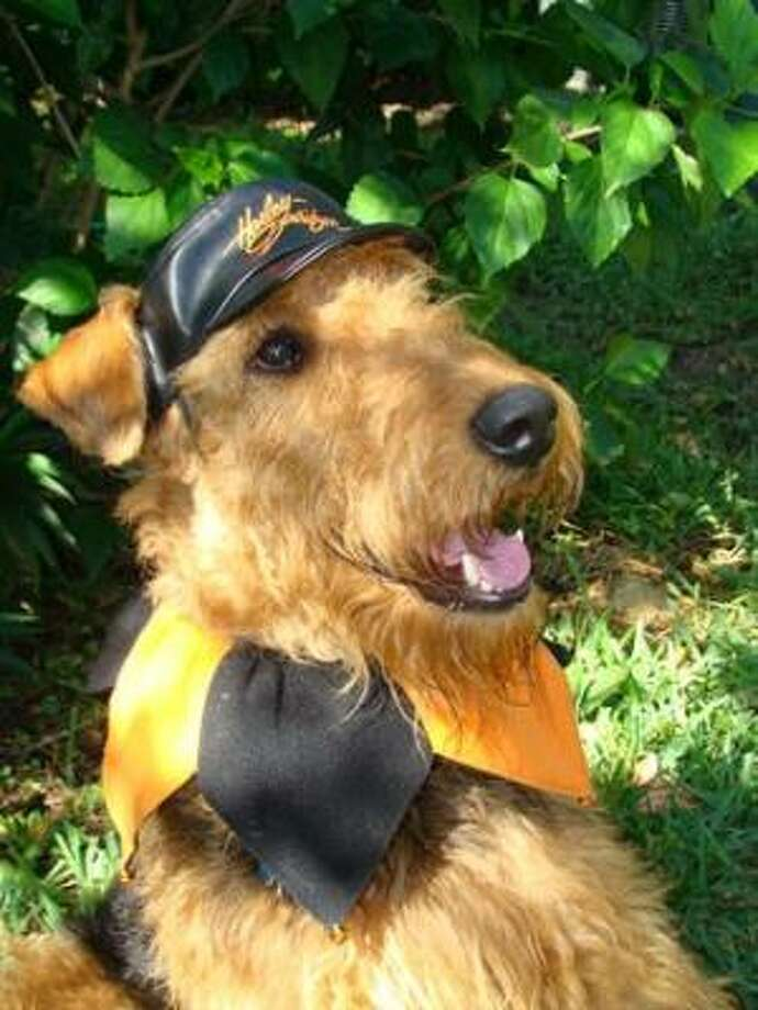 Bailey models a black-and-gold ensemble that complements his hair. Share your dog pics. Photo: Ngui13, PetsHouston.com