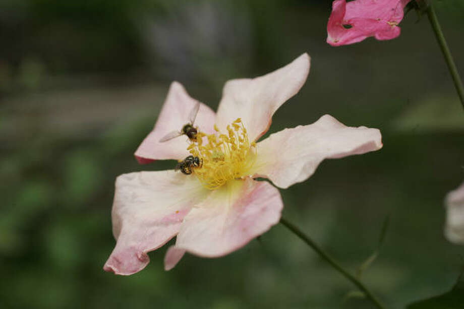 'Mutabilis' rose Lazy Gardener: Wow Plants of 2009 | More hardy 2009 plants| Add your recommendations to the list | Submit your garden photos | Houston Plant Database | HoustonGrows.com Photo: MICHAEL BRYANT, FOR THE CHRONICLE