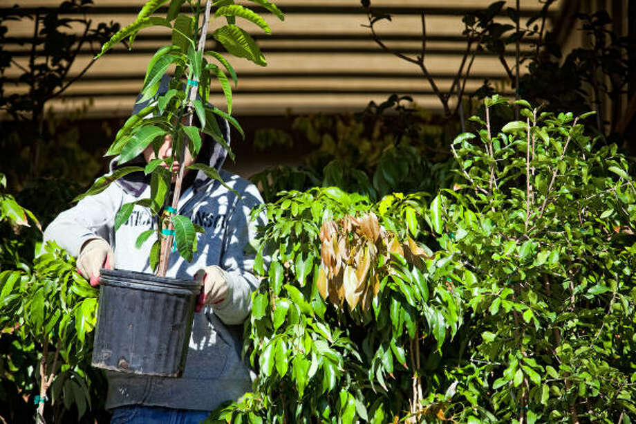 Daniel Olivo of Tree Search Farms helps fill a customer's order. Photo: TODD SPOTH, For The Chronicle