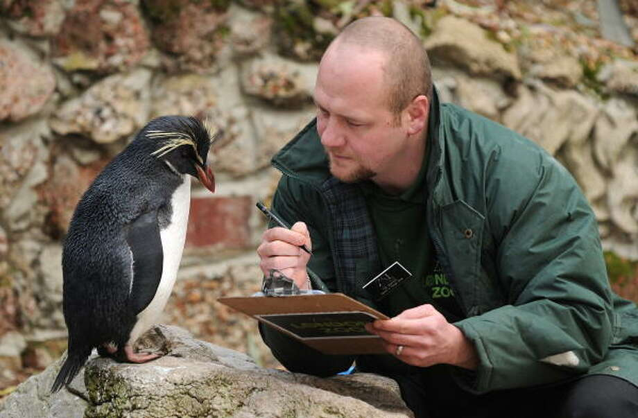 Ricky the Rockhopper checks out zookeeper Tim Savage's clipboard during a photocall to promote London Zoo's annual stocktake of animals on Jan. 5. Photo: CARL DE SOUZA, AFP/Getty Images