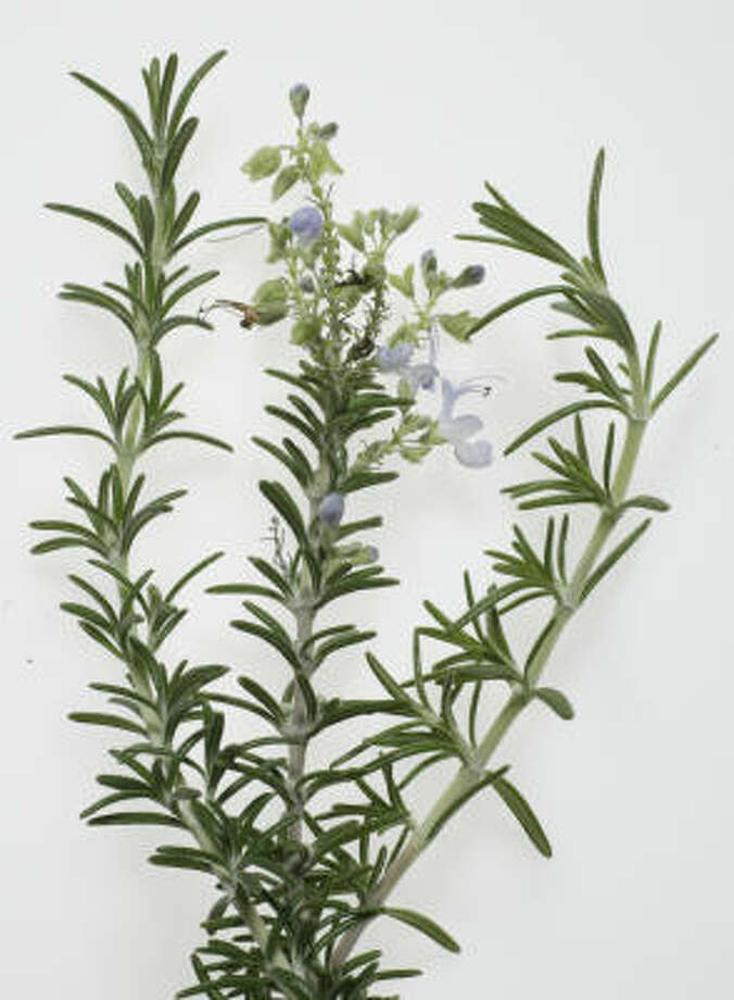 How To Care For My Rosemary 39 Tree 39 Houston Chronicle