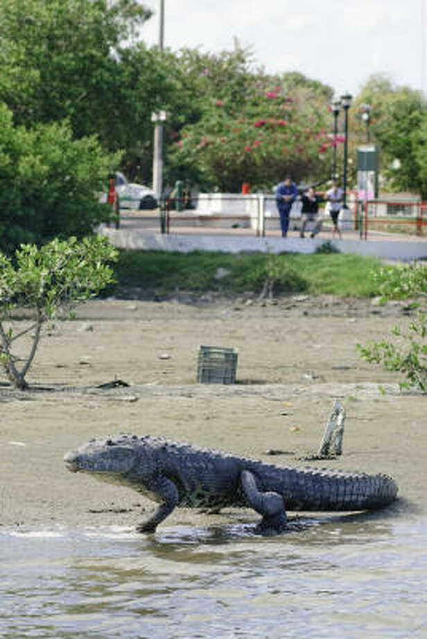 People watch a crocodile in Tampico, Mexico. Once reviled, the beasts now are considered mascots. Photo: Keith Dannemiller, For The Chronicle