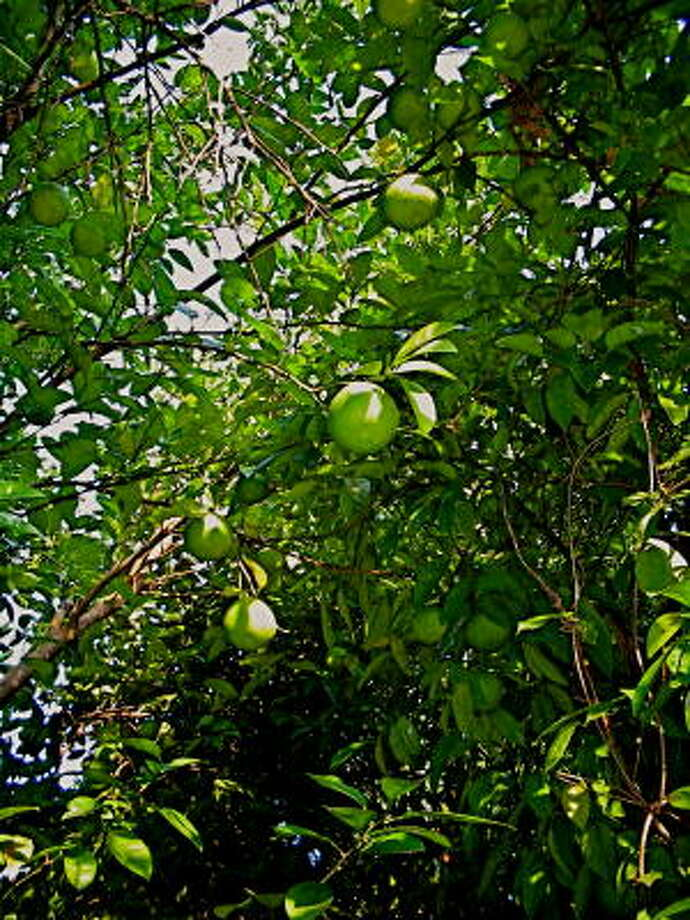 Bloomsweet grapefruits begin to ripen in the fall. Photo: Bob Randall, Year Round Gardening