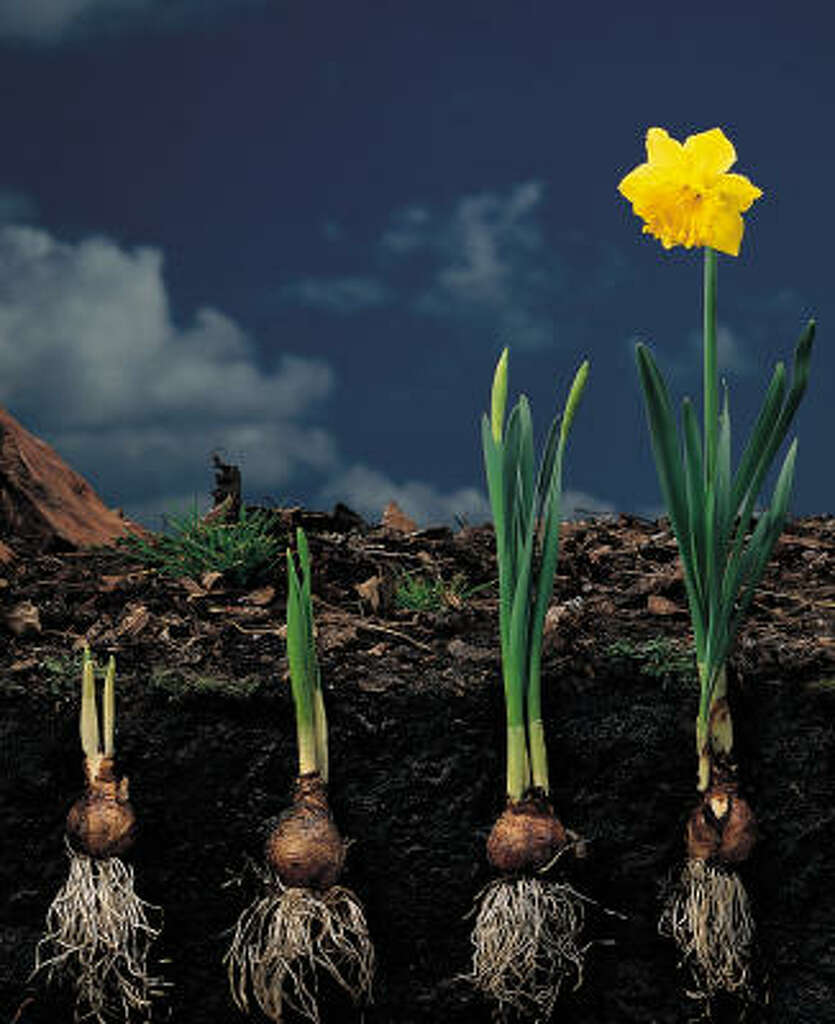 When how to plant daffodil bulbs - Narcissus Carlton Growing Narcissi Aka Daffodils Begin To Grow Roots As